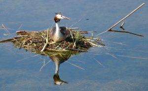 Fuut op nest