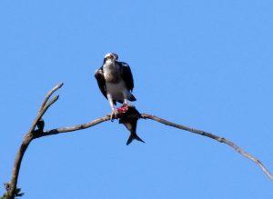 Roofvogel in Giethoorn