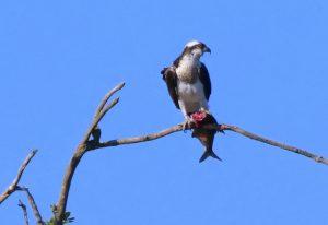 Roofvogels Weerribben Wieden