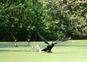 Vogels spotten in de Weerribben