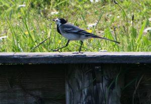 Vogels in de Weerribben