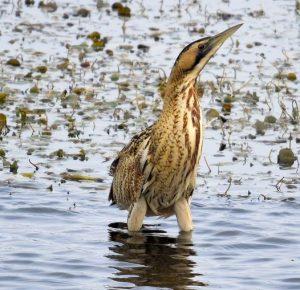 De Roerdomp. Een beschermde vogel in Giethoorn