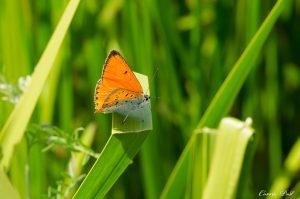 Vlinders genoeg in Giethoorn en omgeving