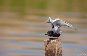 Vogel natuurgebied De Weerribben