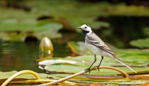 Vogels die leven op het water